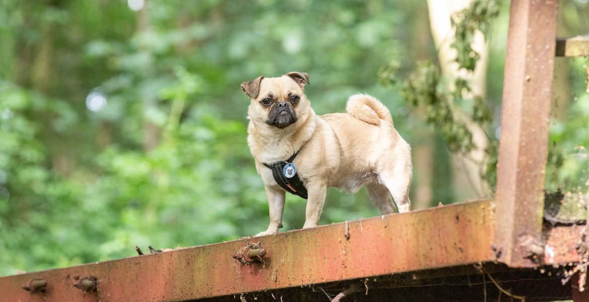 Pet Photography Gizmo Pug Dog- slider